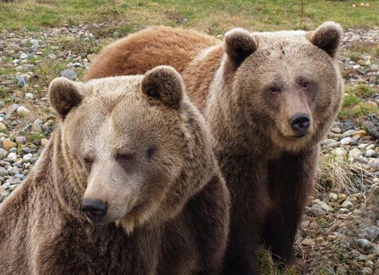 Medvědi Kladno